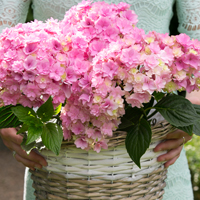 Hydrangea Together - Roze